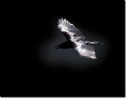 Grand Corbeau Messager (3)